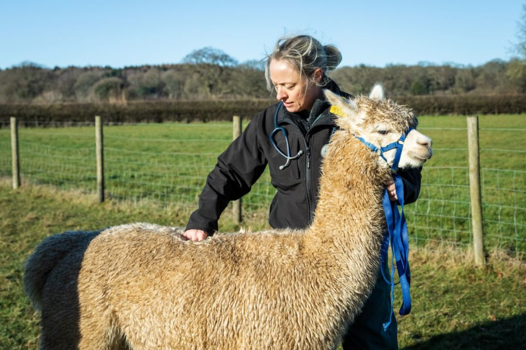Body condition scoring is an essential part of camelid health management.